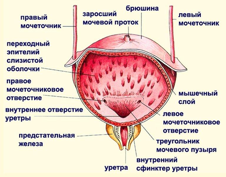 Мочевой пузырь строение
