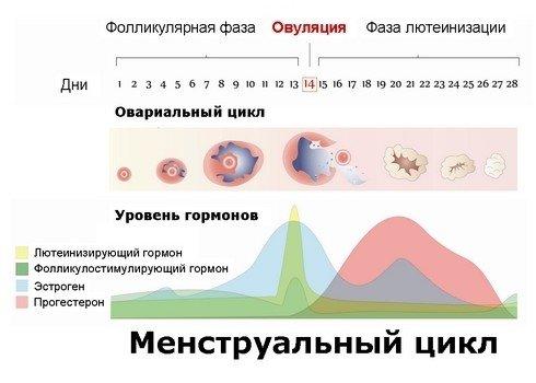 Овуляция и менструальный цикл