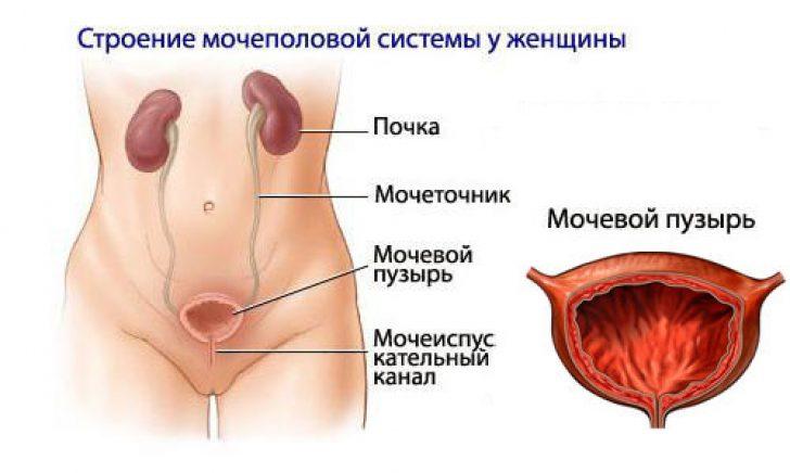 Мочеполовая система женщин