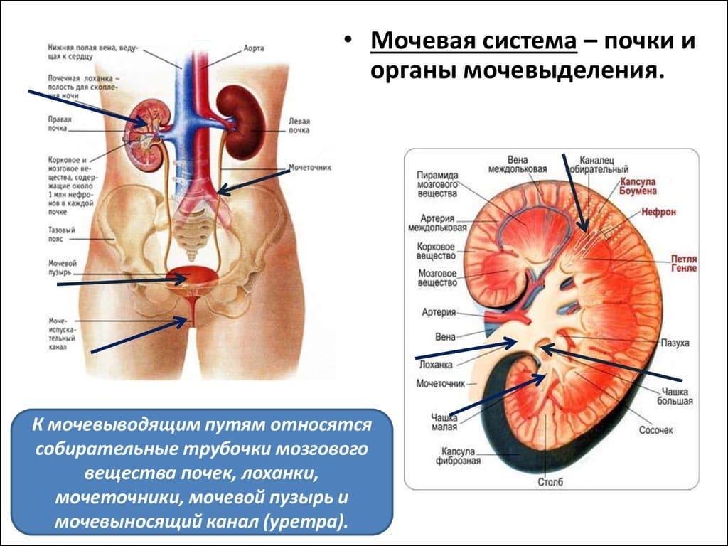 Мочевая система