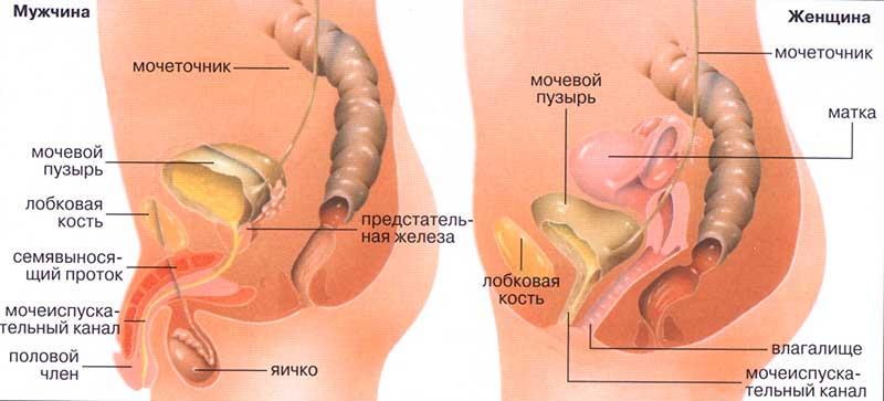 Строение мочеиспускательного канала мужчин и женщин